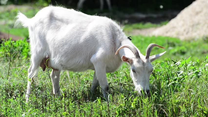 Google rent goats